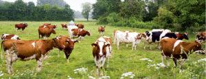 Fünf-Sterne-Restaurant für die Bollheim Kühe: eine Weide mit Wiesenkräutern und Kleegras. (© Michael Billig)