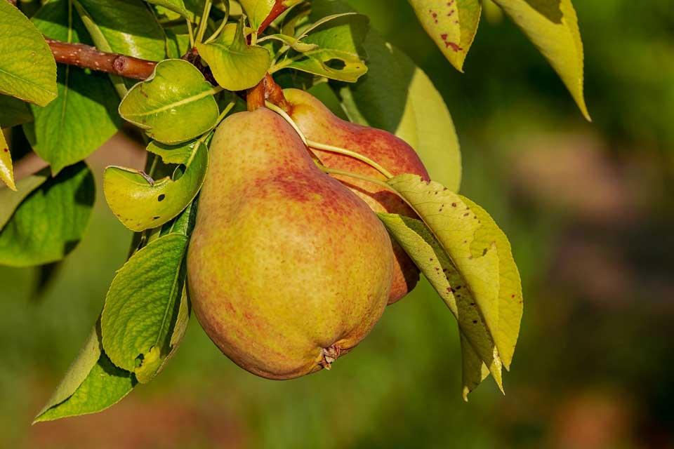 Birnen Saisonkalender für die Küche